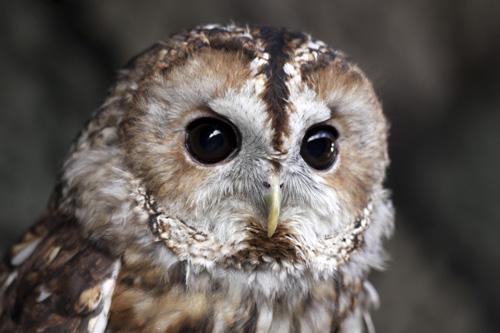 Mna-martin-mere-tawny-owl3